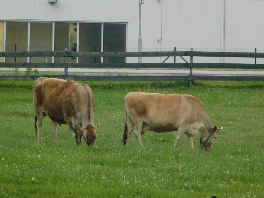 školní krávy
